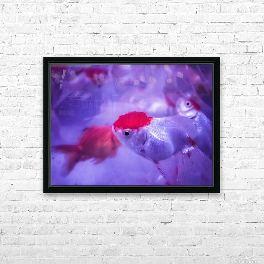 Golden Fish  HD Sublimation Metal print with Decorating Float Frame (BOX)