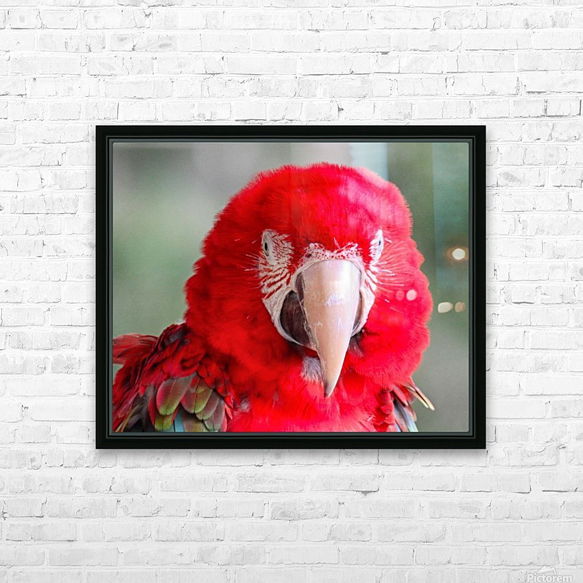 Red Parrot  HD Sublimation Metal print with Decorating Float Frame (BOX)