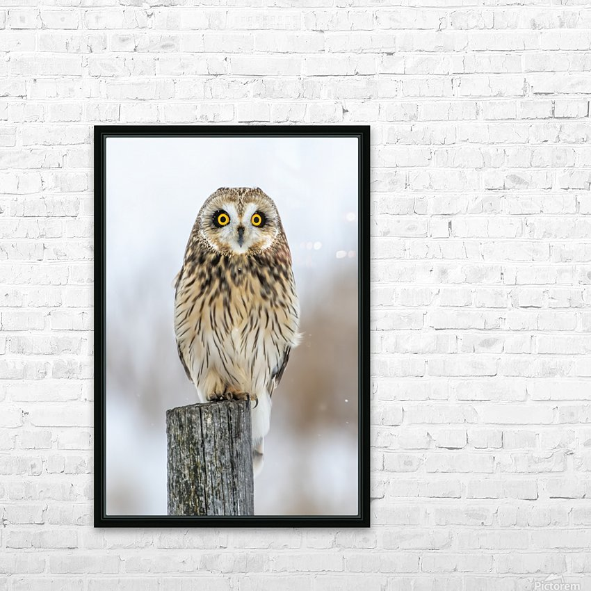 Short Eared Owl - Eyes wide open HD Sublimation Metal print with Decorating Float Frame (BOX)