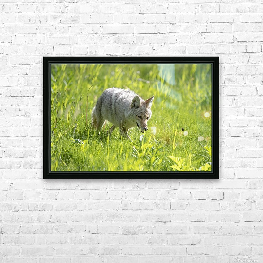 Coyote - Meadow Walk HD Sublimation Metal print with Decorating Float Frame (BOX)