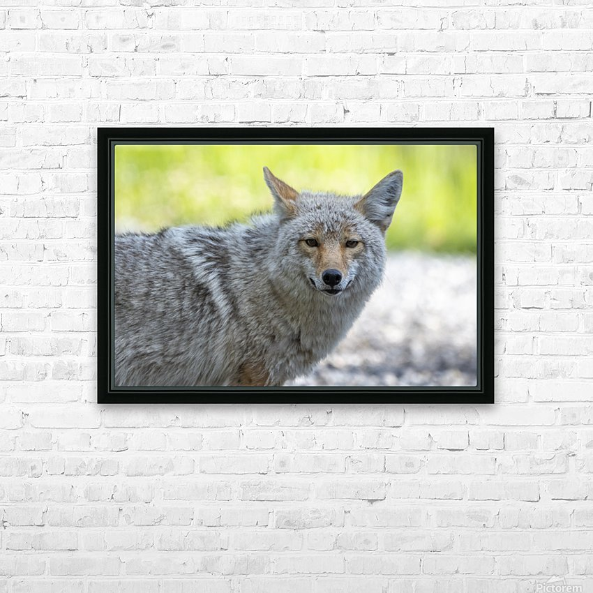 Coyote - Looking at you. HD Sublimation Metal print with Decorating Float Frame (BOX)