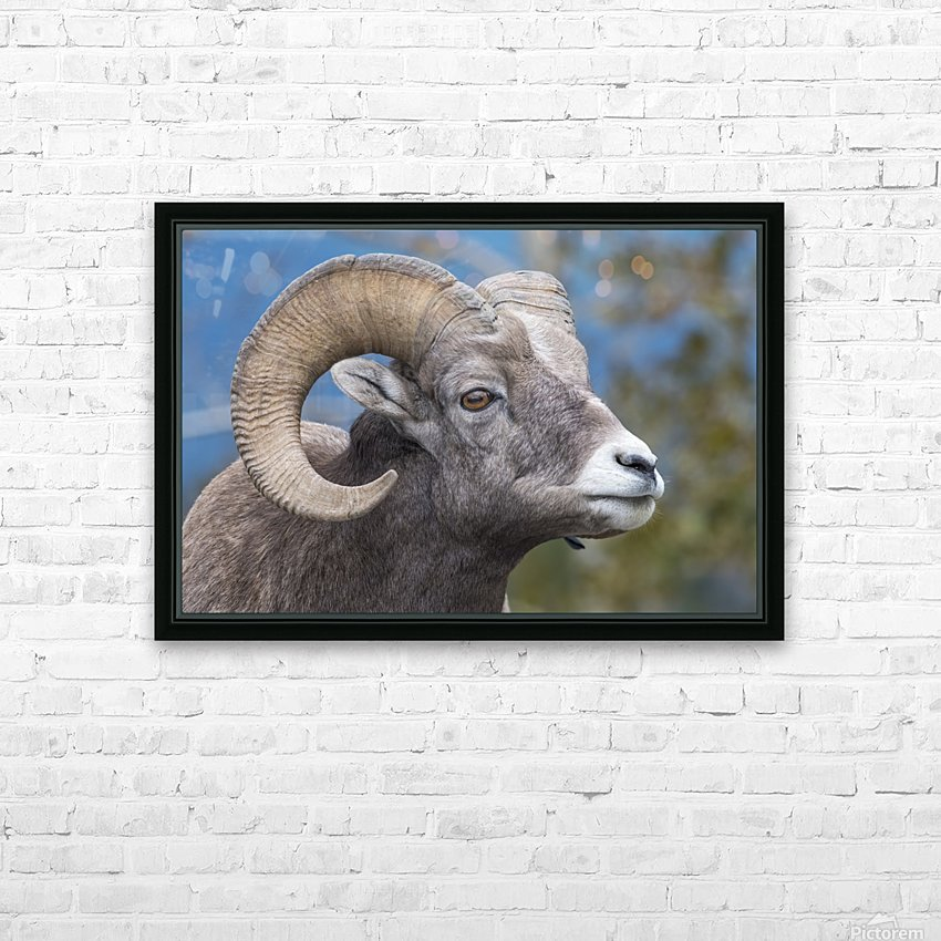 Big Horn Sheep - Portrait HD Sublimation Metal print with Decorating Float Frame (BOX)