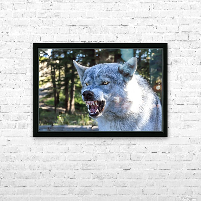 Wolf Dog Snarling HD Sublimation Metal print with Decorating Float Frame (BOX)