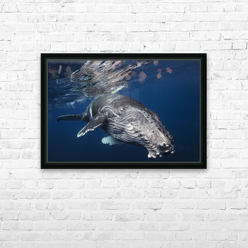 Humpback Whale HD Sublimation Metal print with Decorating Float Frame (BOX)