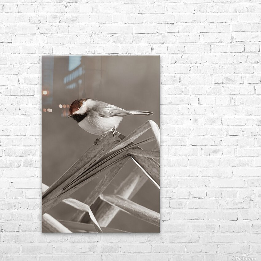 Black Capped Chickadee ap 1592 B&W HD Sublimation Metal print with Decorating Float Frame (BOX)