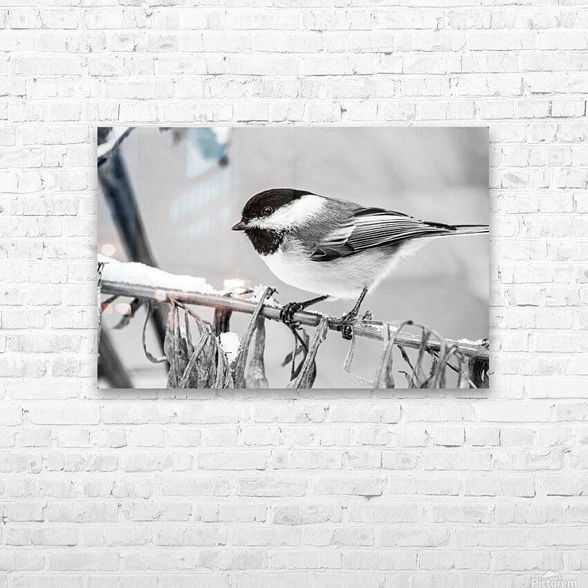 Blacked Capped Chickadee ap 1813 B&W HD Sublimation Metal print with Decorating Float Frame (BOX)