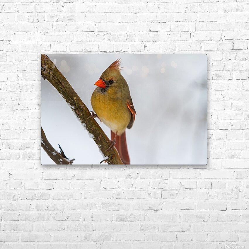 Cardinal ap 1729 HD Sublimation Metal print with Decorating Float Frame (BOX)