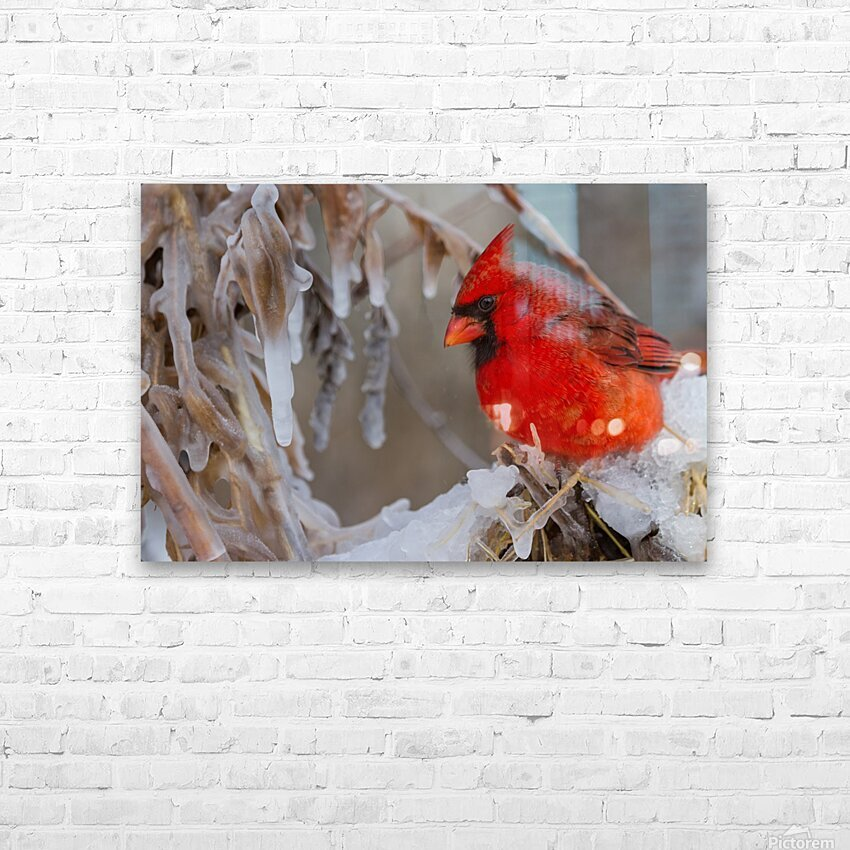 Cardinal ap 1869 HD Sublimation Metal print with Decorating Float Frame (BOX)