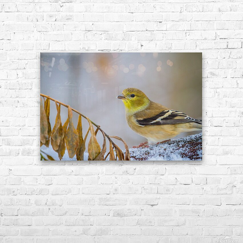 Goldfinch ap 1816 HD Sublimation Metal print with Decorating Float Frame (BOX)