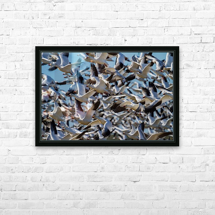 Snow Geese ap 1855 HD Sublimation Metal print with Decorating Float Frame (BOX)