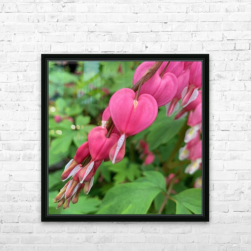 Bleeding Hearts  HD Sublimation Metal print with Decorating Float Frame (BOX)