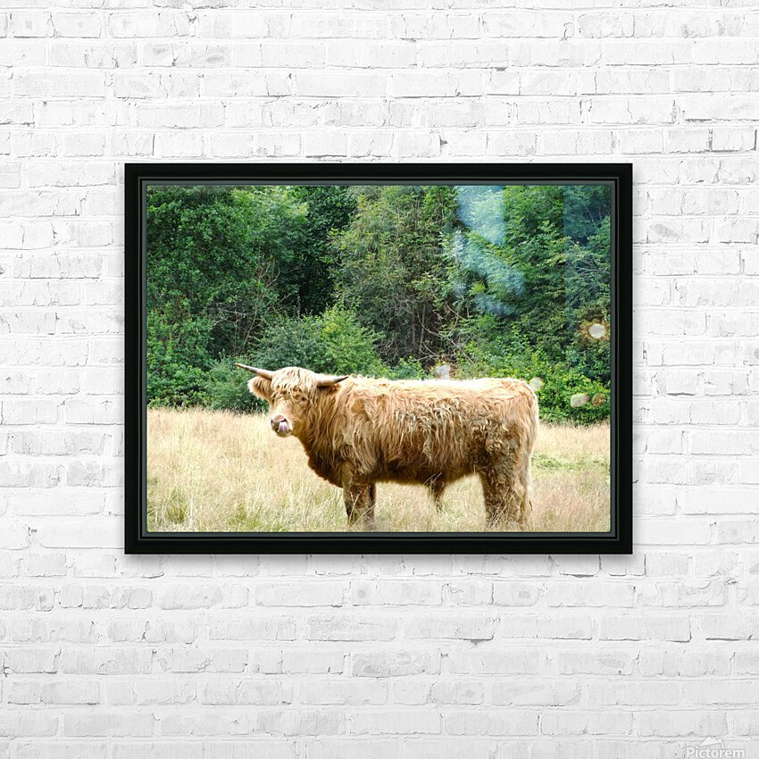 Hairy Coo - Scottish Highlands HD Sublimation Metal print with Decorating Float Frame (BOX)