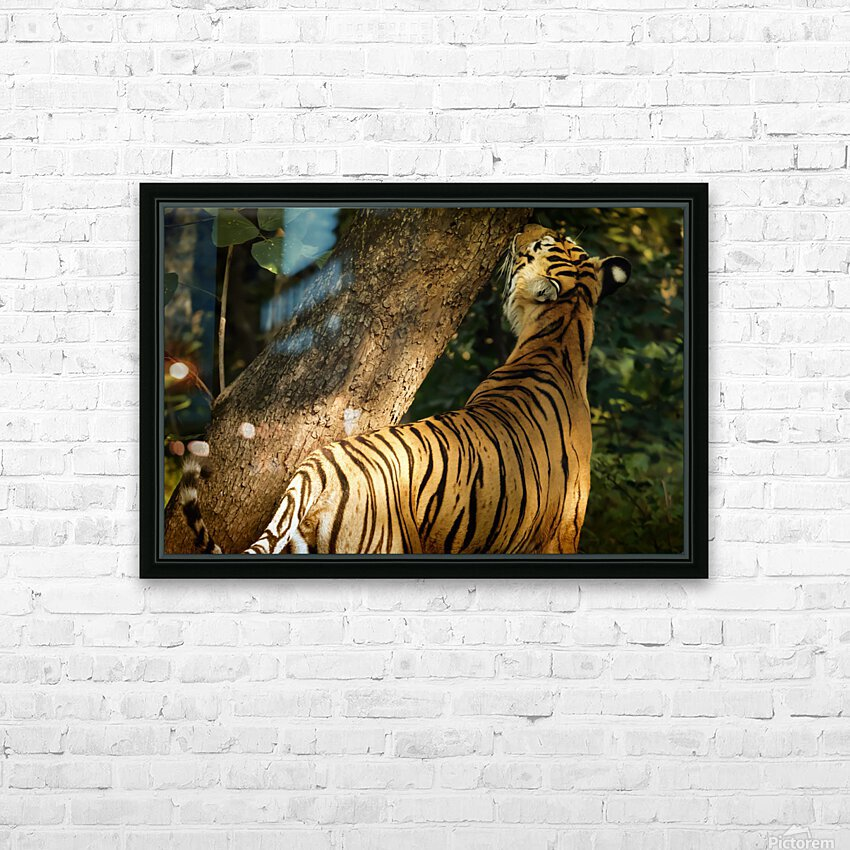 Indian Tiger HD Sublimation Metal print with Decorating Float Frame (BOX)