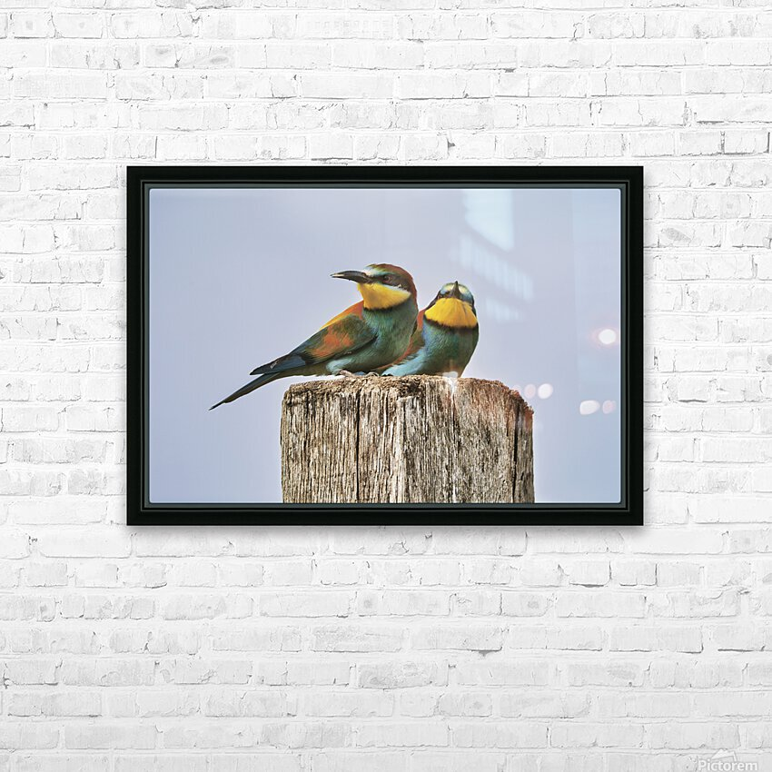 European Bee-Eaters HD Sublimation Metal print with Decorating Float Frame (BOX)