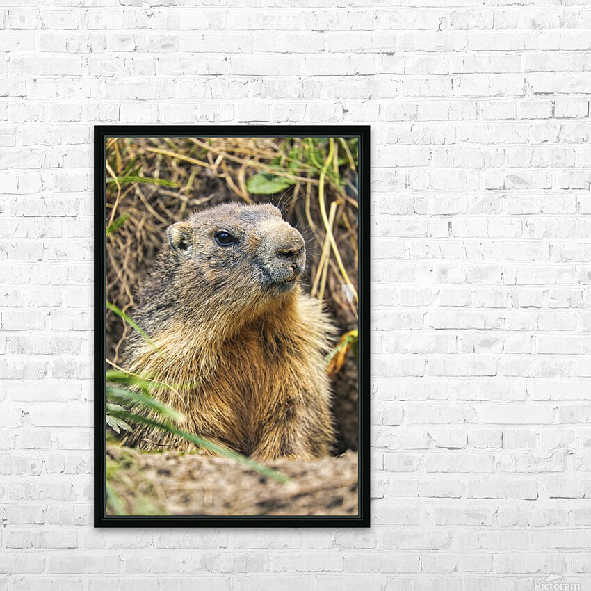 Alpine Marmot HD Sublimation Metal print with Decorating Float Frame (BOX)