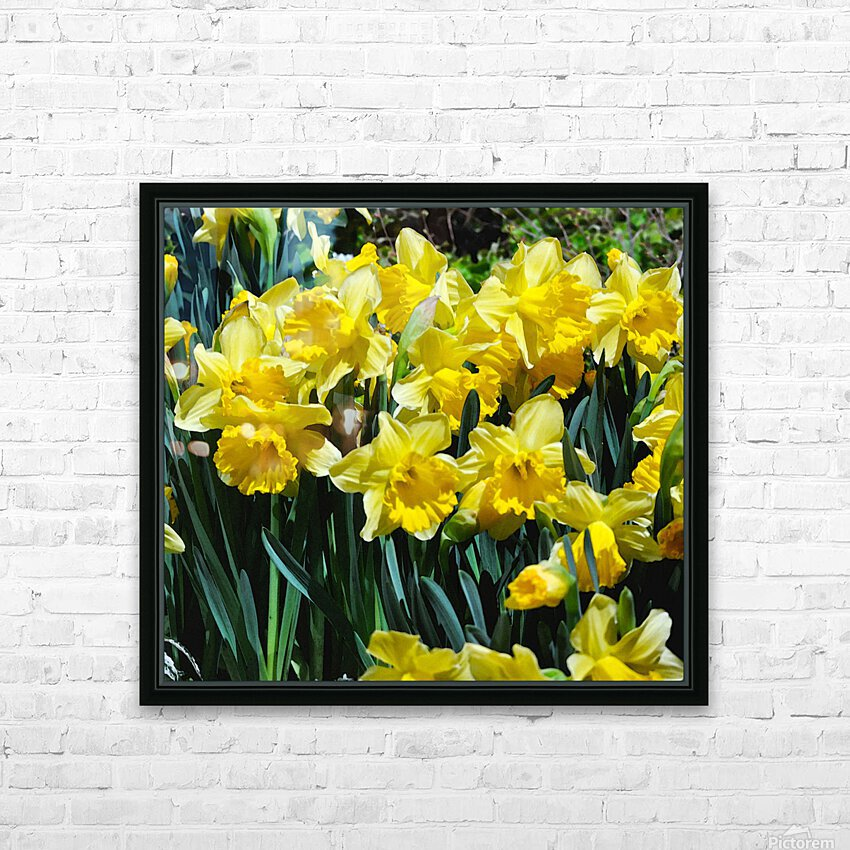 Yellow Daffodils wc HD Sublimation Metal print with Decorating Float Frame (BOX)