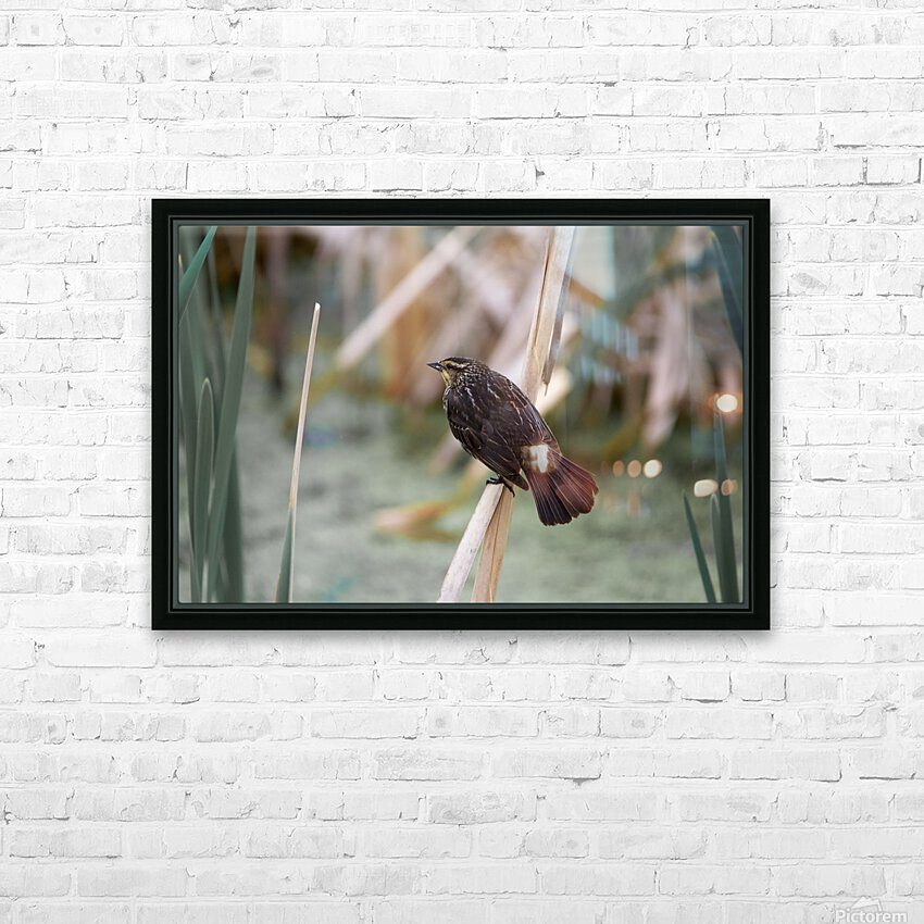 Female redwing blackbird on cat tail HD Sublimation Metal print with Decorating Float Frame (BOX)