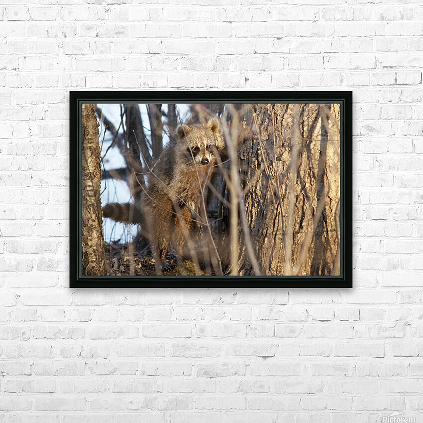 Racoon peeking through twigs HD Sublimation Metal print with Decorating Float Frame (BOX)