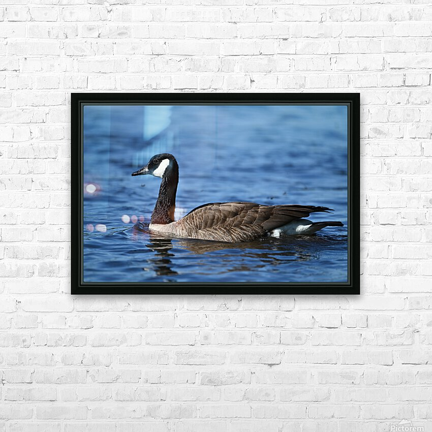 Canada Goose on water HD Sublimation Metal print with Decorating Float Frame (BOX)