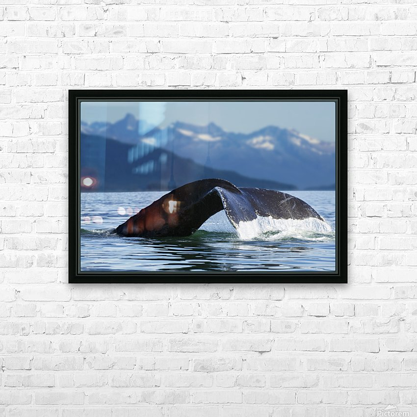 A Humpback whale lifts its flukes as it returns to the depths to feed in the bountiful waters of Alaska's Inside Passage, Tracy Arm in the distance, Stephens Passage, near Juneau. HD Sublimation Metal print with Decorating Float Frame (BOX)