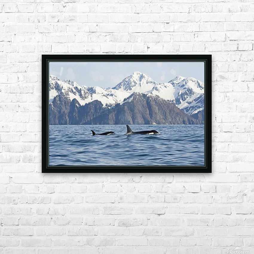 killer whale, or orcas, Orcinus orca, cow and calf swimming in Resurrection Bay, Kenai Fjords National Park, outside Seward, southcentral Alaska, spring HD Sublimation Metal print with Decorating Float Frame (BOX)