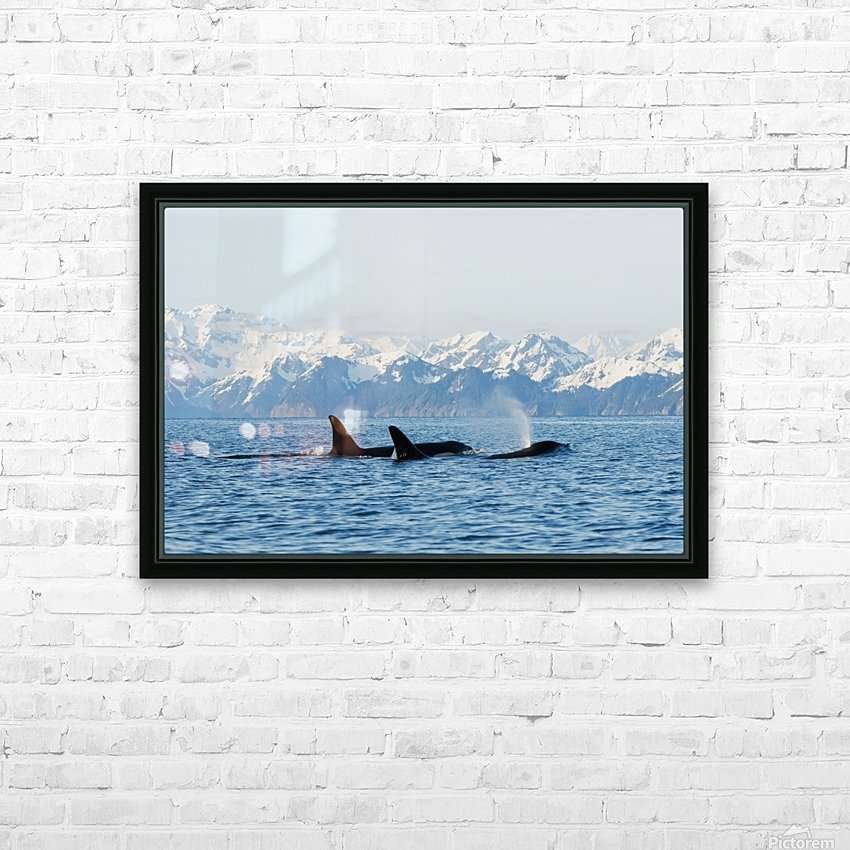killer whale, or orcas, Orcinus orca, pod in traveling in Resurrection Bay, Kenai Fjords National Park, outside Seward, southcentral Alaska, spring HD Sublimation Metal print with Decorating Float Frame (BOX)