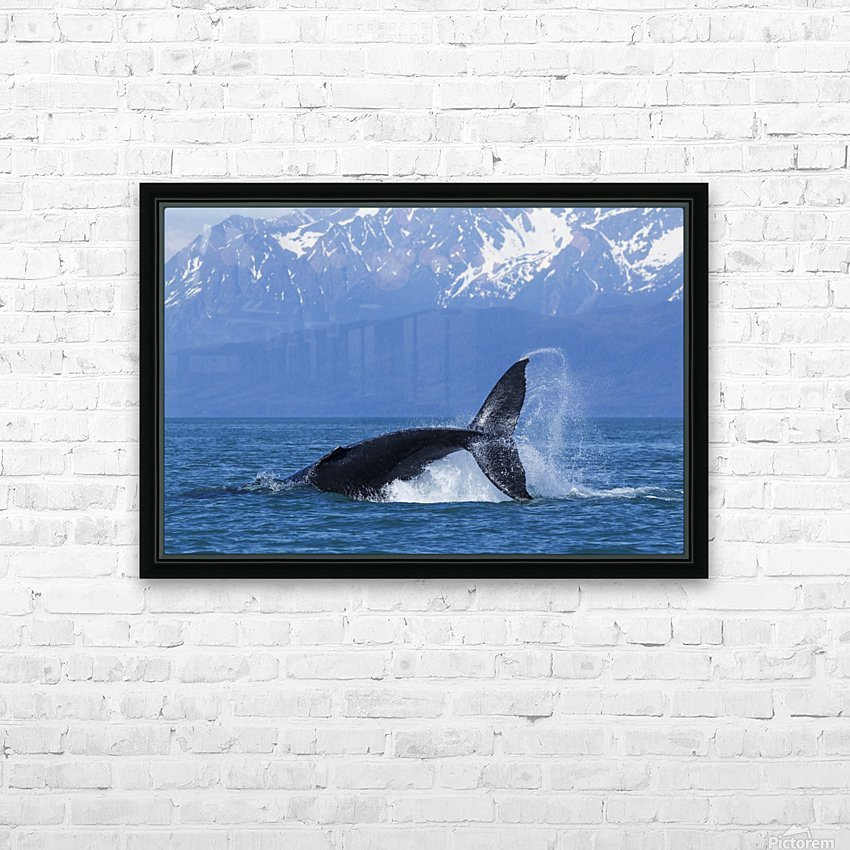 A Humpback Whale calf frolicks in Lynn Canal near Berners Bay, Inside Passage, Alaska HD Sublimation Metal print with Decorating Float Frame (BOX)