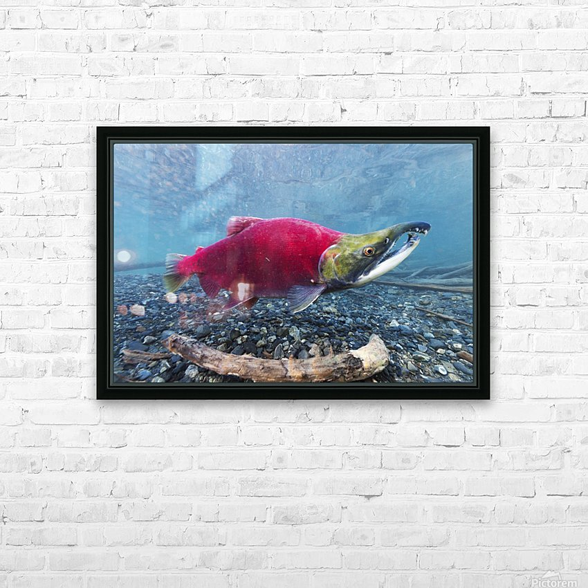 Underwater view of a male Sockeye Salmon in Power Creek near Cordova, Southcentral Alaska HD Sublimation Metal print with Decorating Float Frame (BOX)