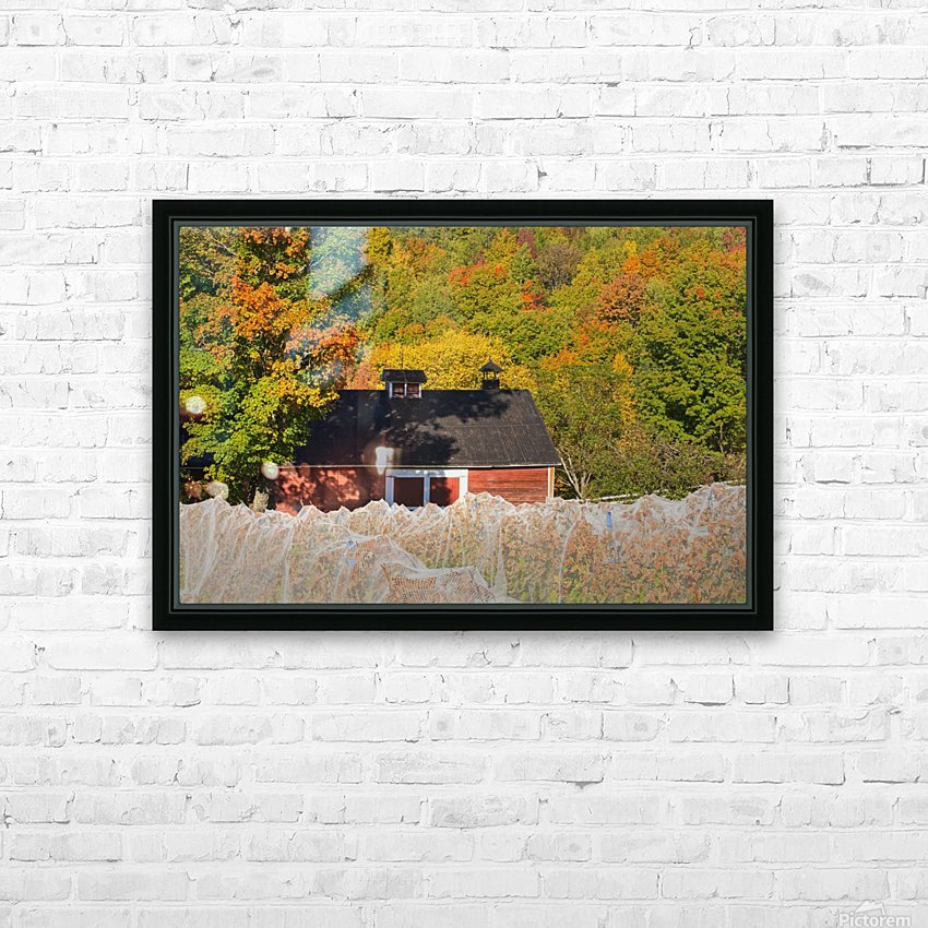 Wine grape vineyard in autumn with bird netting covering the vines to protect the crop shortly before harvest; Knowlton, Quebec, Canada HD Sublimation Metal print with Decorating Float Frame (BOX)