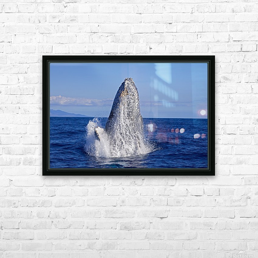 Breaching humpback whale (Megaptera novaeangliae); Maui, Hawaii, United States of America HD Sublimation Metal print with Decorating Float Frame (BOX)