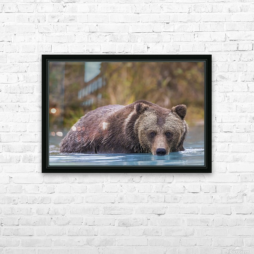 Close up of a coastal Brown Bear (Ursus Arctos) wading in water, Southcentral Alaska, Autumn HD Sublimation Metal print with Decorating Float Frame (BOX)