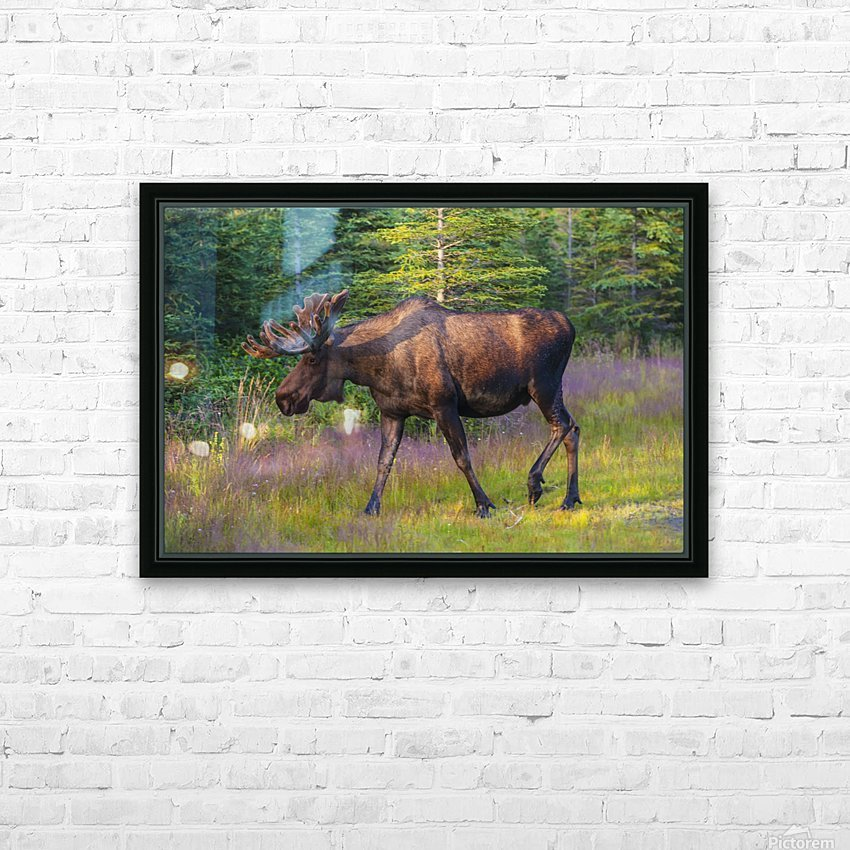 Bull moose in velvet, Kincaid Park, Anchorage, Southcentra Alaska, summer HD Sublimation Metal print with Decorating Float Frame (BOX)
