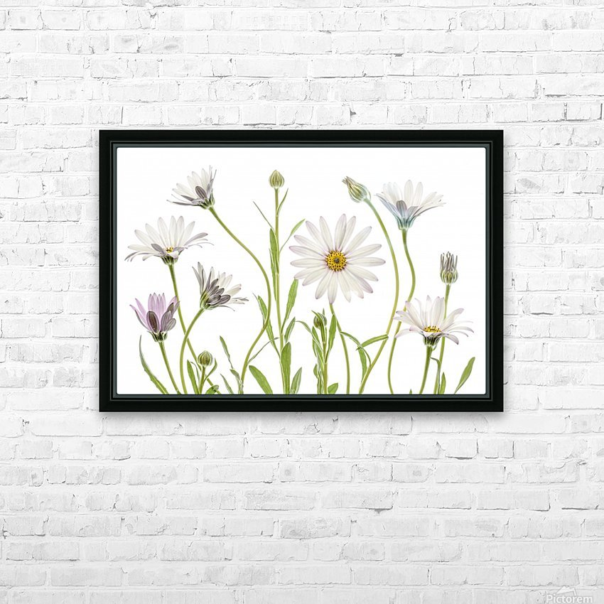 Cape Daisies HD Sublimation Metal print with Decorating Float Frame (BOX)