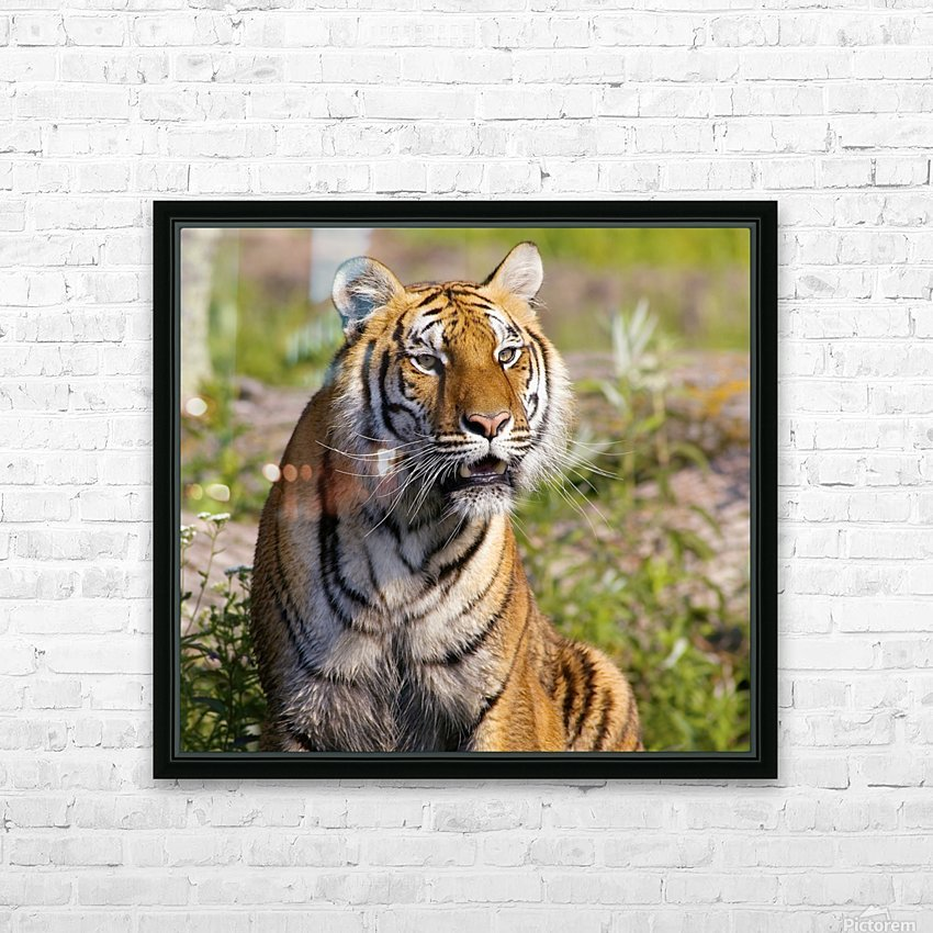 Tiger Watching HD Sublimation Metal print with Decorating Float Frame (BOX)