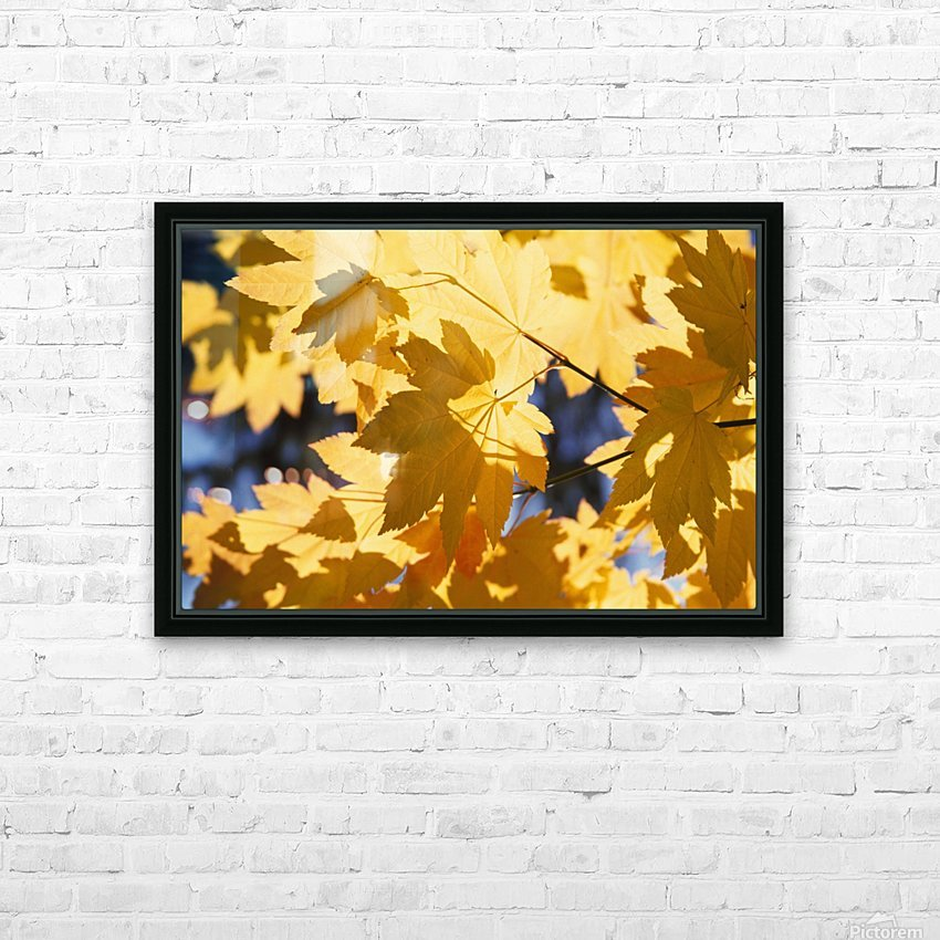 Vine Maples Leaves In Autumn HD Sublimation Metal print with Decorating Float Frame (BOX)