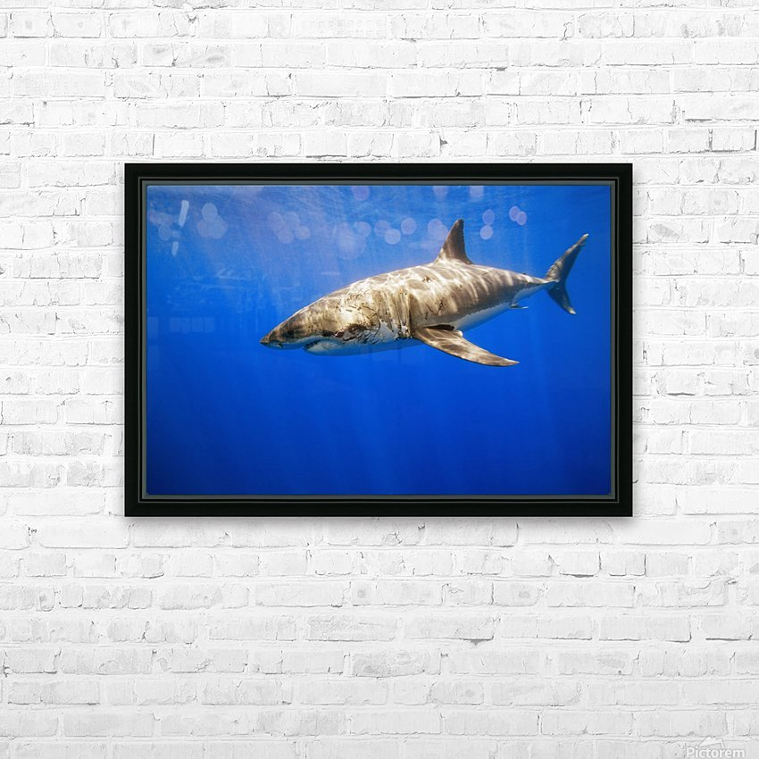 Great White Shark HD Sublimation Metal print with Decorating Float Frame (BOX)