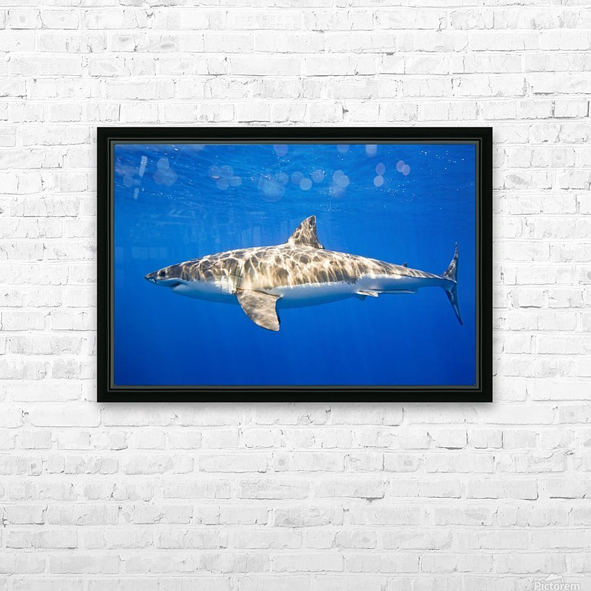 Great White Shark (Carcharodon Carcharias) HD Sublimation Metal print with Decorating Float Frame (BOX)