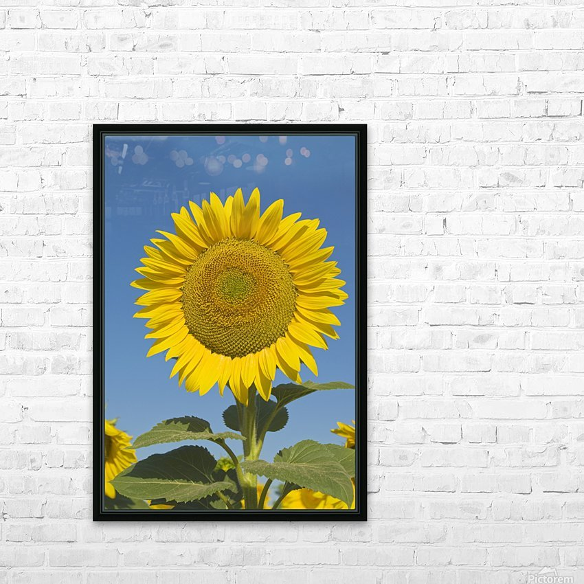 Sunflower (Helianthus Annuus) HD Sublimation Metal print with Decorating Float Frame (BOX)