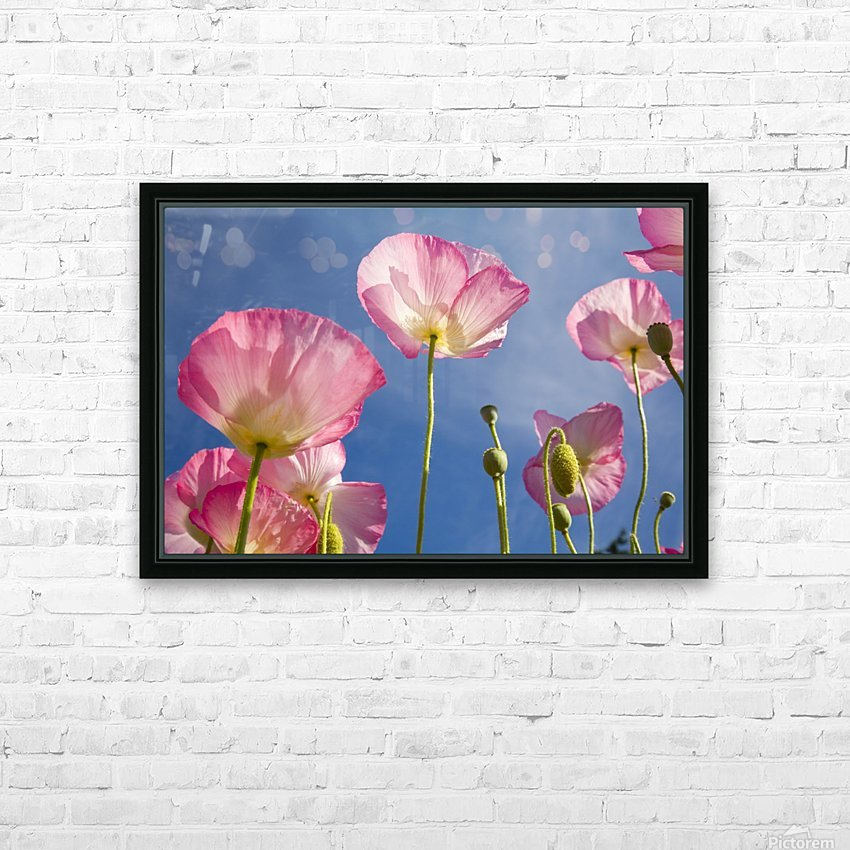 Shirley Poppies HD Sublimation Metal print with Decorating Float Frame (BOX)