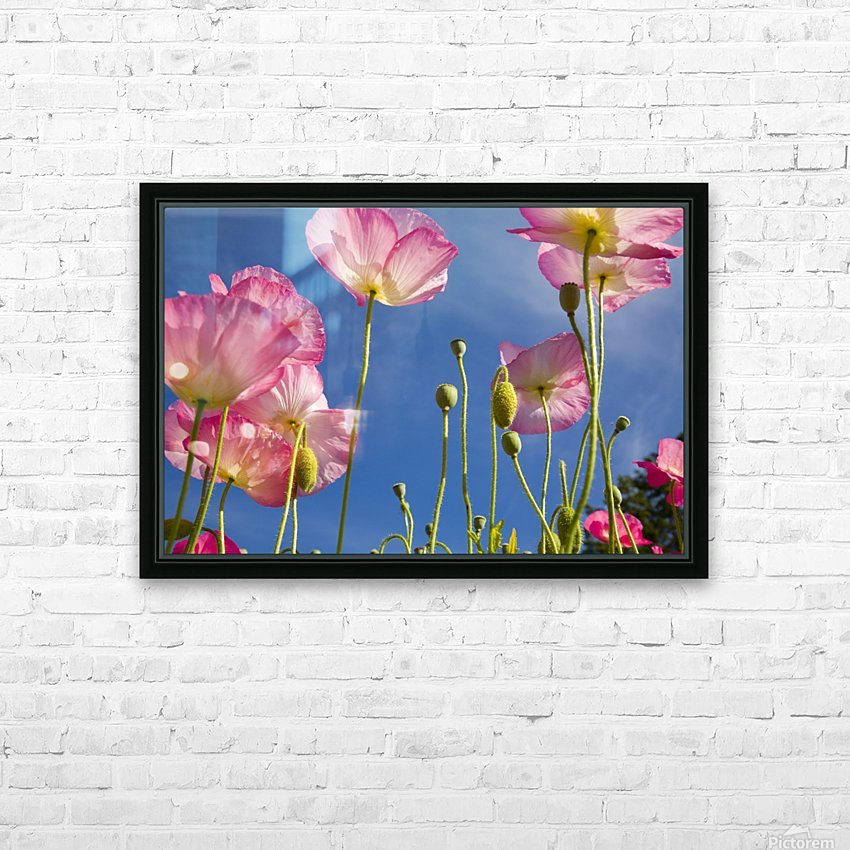Shirley Poppies (Papaver Rhoeas), Oregon, Usa HD Sublimation Metal print with Decorating Float Frame (BOX)