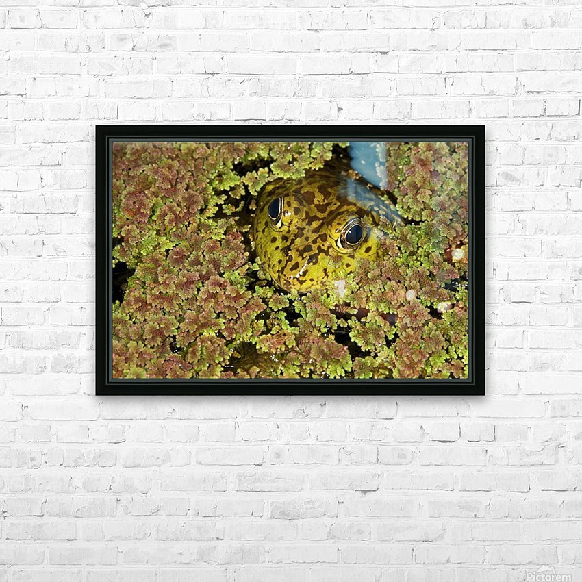 American Bullfrog (Rana Catesbeiana), California, Usa ; Bullfrog Hiding In Duckweed HD Sublimation Metal print with Decorating Float Frame (BOX)