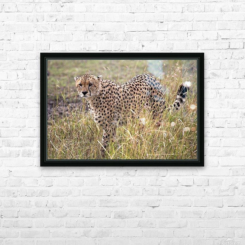 Cheetah (Acinonyx Jubatus), Masai Mara National Reserve, Kenya, Africa; Cheetah On The Prowl HD Sublimation Metal print with Decorating Float Frame (BOX)