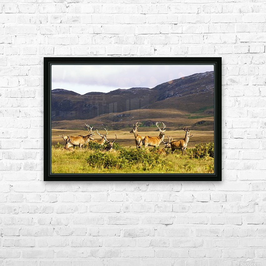 Island Of Islay, Scotland; Male Deer Roaming The Hills HD Sublimation Metal print with Decorating Float Frame (BOX)
