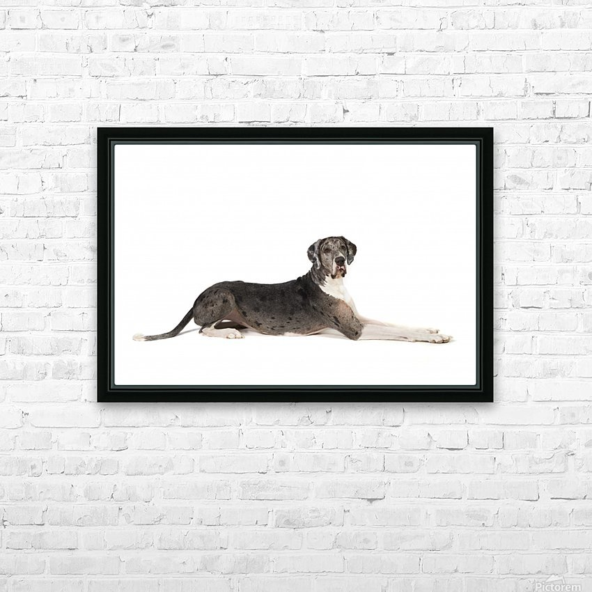 Great Dane Dog HD Sublimation Metal print with Decorating Float Frame (BOX)