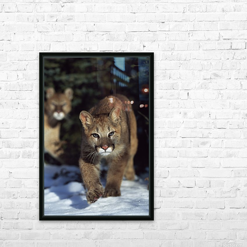 Mountain lion cub (Felis concolor) walking on snow toward camera, mother in background; Montana, Usa HD Sublimation Metal print with Decorating Float Frame (BOX)