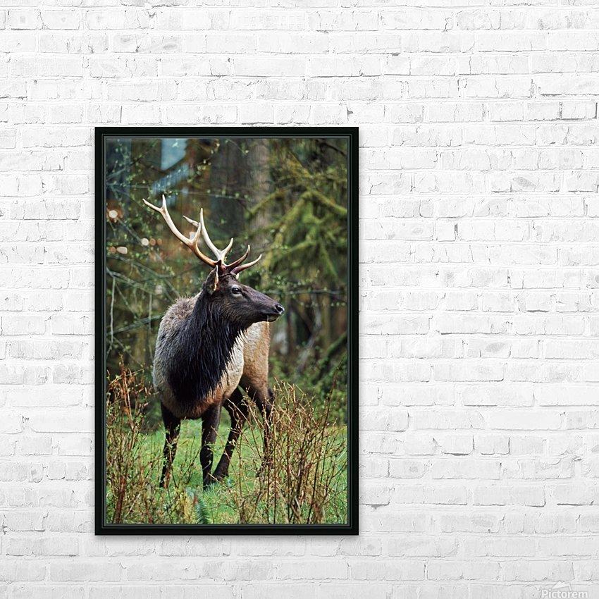 Roosevelt Elk (Cervus Canadensis Roosevelti); Olympic National Park, Washington, Usa HD Sublimation Metal print with Decorating Float Frame (BOX)