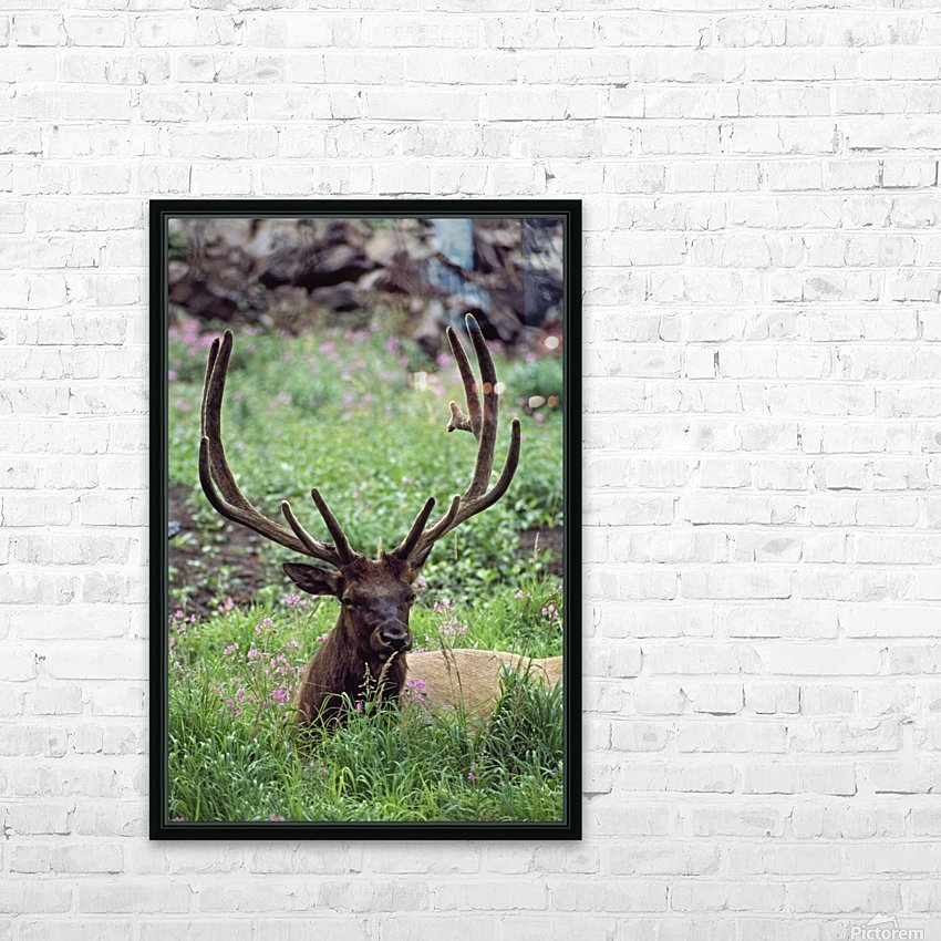 Bull Elk Resting In Alpine Meadow With Antlers In Velvet; Yellowstone National Park, Wyoming, Usa HD Sublimation Metal print with Decorating Float Frame (BOX)