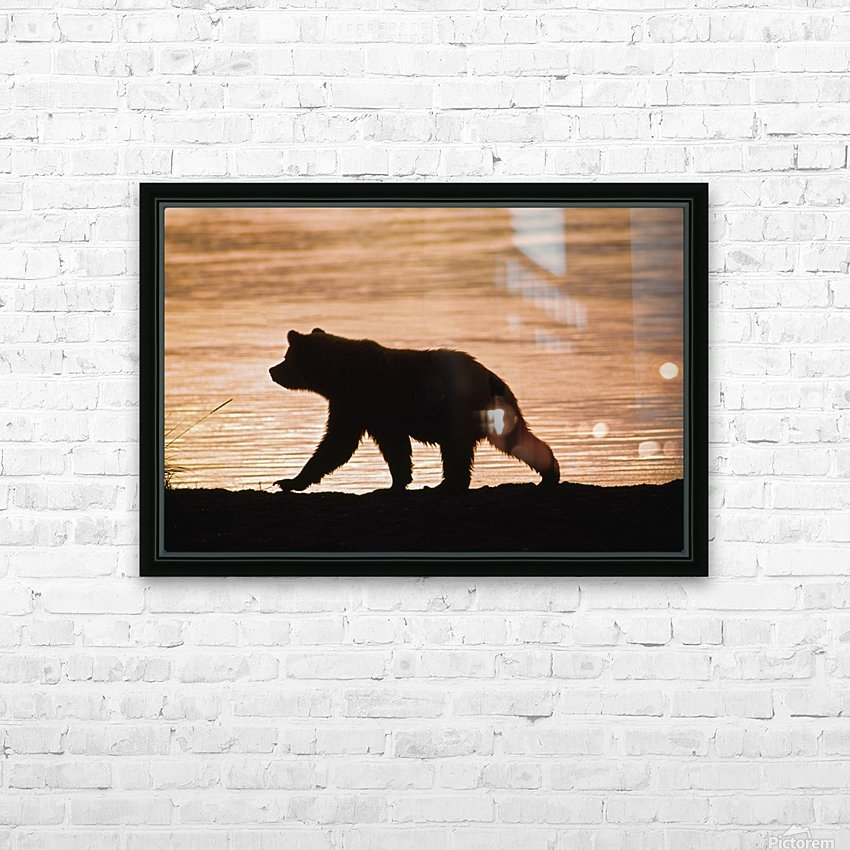 Young Grizzly Bear (Ursus Arctos) Walks Along Edge Of Lake At Sunset HD Sublimation Metal print with Decorating Float Frame (BOX)