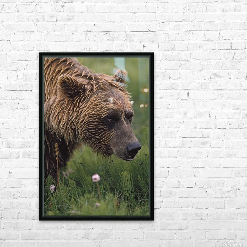 Grizzly Bear Wet From Rain HD Sublimation Metal print with Decorating Float Frame (BOX)
