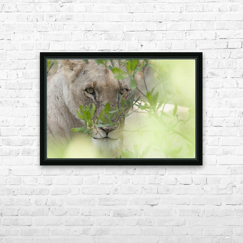 Lioness, Kenya, Africa HD Sublimation Metal print with Decorating Float Frame (BOX)